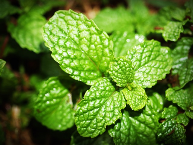 green-mint-photo-214165